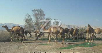 2534-5 Camels