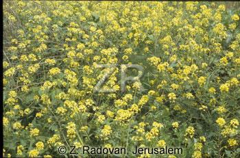 2982-1 Mustard