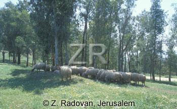 3403 Sheep on Mt Carmel