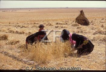 696-2 Wheat gathering
